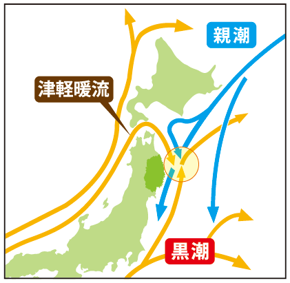 In this area, many currents intersect. There is the Kuroshio current from the south, the Oyashio current from the north, and the Tsugaru warm current that flows in from the Tsugaru Straight by the Sea of Japan.